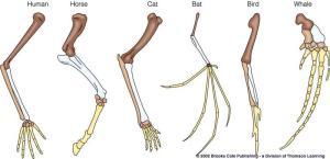 pentadactyl limb